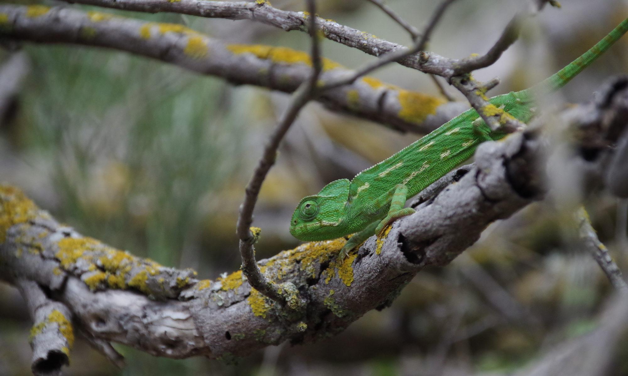 Jak správně chovat chameleona